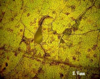 Asian Soybean Rust 3 image