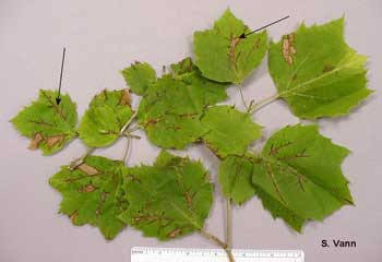 Anthracnose - Sycamore Tree image