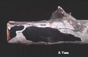 Hypoxylon Canker - Sycamore Tree image