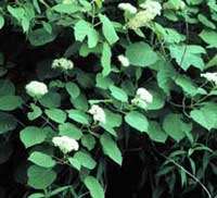 Picture of H. arborescens flowers and bush