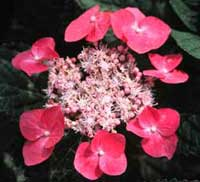 Picture of fasan flower