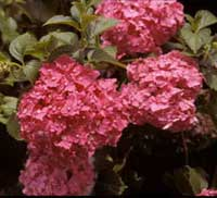 Picture of Tovelit, reddish pink flowers