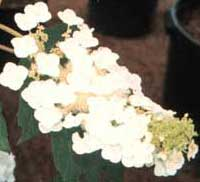 Picture of H. q. 'Snow Queen' flowers