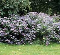 Picture of H. s. 'Blue Bird' bush