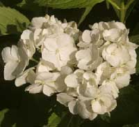 Picture of H. s. 'Grayswood' flowers