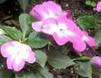 Pink flowers with white centers and green leaves