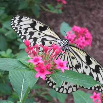 Pink bloom with a butterfly that has a black and white pattern on it.