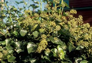 Picture closup of English Ivy (Hedera helix) flowers showing green flower structures