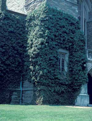 Picture of English Ivy (Hedera helix) growing over front of large stone building.