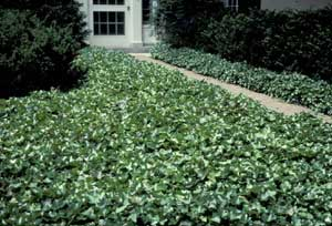 Picture of English Ivy (Hedera helix) form as groundcover on either side of walkway.