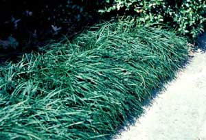 Picture of Mondograss (Ophiopogon japonicus) form in landscape border row.