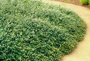 Picture of Japanese Star Jasmine (Trachelospermum asiaticum) form cover in landscaped bed.