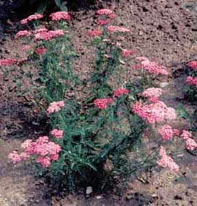 Picture of Yarrow (Achillea sp.) form with pink flower clusters.