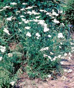 Picture of Yarrow (Achillea sp.) form with white flower clusters.