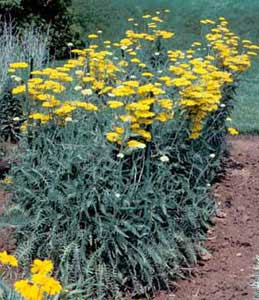 Picture of Yarrow (Achillea sp.) form with yellow flower clusters.