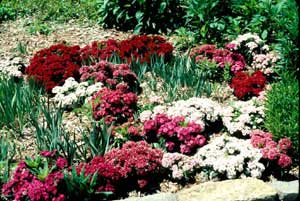 Picture of multiple Sweet William (Dianthus barbatus) forms showing different flower colors of red, burgundy, white, pink flowers.