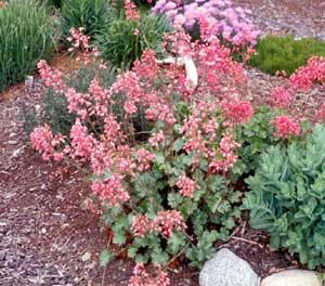 Picture of Coral Bells (Heuchera sanguinea) form with multiple spikes of pink bell-shaped flowers.
