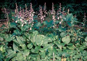Picture of Hosta (Hosta sp.) forms with flower spikes of purplish-white flowers.
