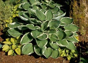 Picture of Hosta (Hosta sp.) form with variegated white-edged leaves.