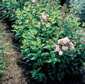 Picture of Garden Phlox (Phlox paniculata) forms with pink flowers.