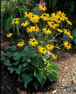 Picture of Coneflower (Rudbeckia fulgida) form with bright yellow flowers with brown centers.