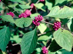 Picture closeup of American Beautyberry (Callicarpa americana) magenta fruit berry clusters and leaves.