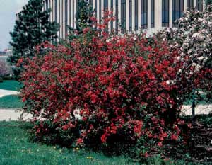Picture of Japanese Floweringquince (Chaenomeles japonica) shrub form with dark redish flowers.