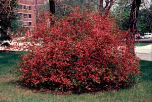 Picture of Japanese Floweringquince (Chaenomeles japonica) shrub form with coral colored flowers.