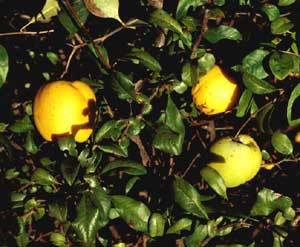 Picture closeup of Japanese Floweringquince (Chaenomeles japonica) leaves and yellow fruit.