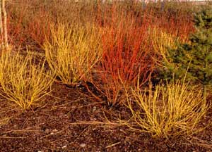 Picture of Red Osier Dogwood (Cornus sericea [f. stolonifera] ) 'Flaviramea' cultivar's bright yellow and orange twigs.