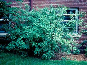 Picture of Red Osier Dogwood (Cornus sericea [f. stolonifera] ) shrub form.