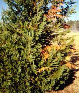 Picture of Leyland Cypress (x Cupressocyparis laylandii) showing damage from canker.
