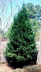 Picture of Leyland Cypress (x Cupressocyparis laylandii) shrub form.