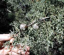 Picture of Arizona Cypress leaves and fruit.