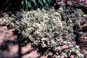 Picture of Variegated Euonymus (Euonymus japonicus 'Aureus') low shrub form showing white variegation of foliage.