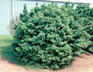 Picture of Manhattan Euonymus (Euonymus kiautschovicus 'Manhattan') shrub form.