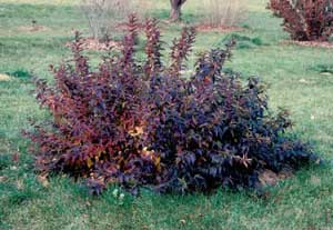 Picture of Border Forsythia (Forsythia x intermedia) shrub form in maroon color.