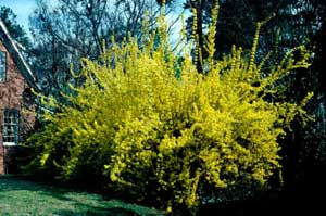 Picture of Border Forsythia (Forsythia x intermedia) shrub form with early spring yellow flowers.