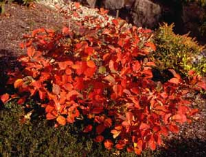 Picture of Dwarf Fothergilla (Fothergilla gardenii) shrub form in flame red color.