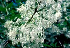 Picture of fringetree flowers.
