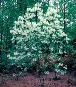 Picture of a fringetree covered in white flowers.