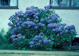 Picture of Bigleaf Hydrangea (Hydrangea macrophylla) 'Bluemop' shrub form with dark blue flowers.
