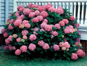 Picture of Bigleaf Hydrangea (Hydrangea macrophylla) 'Pinkmop' shrub form with purplish-pink flowers.