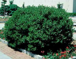 Picture of Inkberry Holly (Ilex glabra) green shrub form.