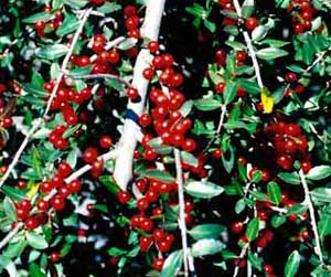 Picture closeup of Dwarf Yaupon Holly (Ilex vomitoria 'Nana') red berry fruit.
