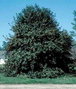 Picture of Nellie Stevens Holly (Ilex x 'Nellie R. Stevens') shrub form.