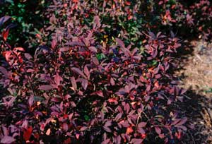 Picture of Virginia Sweetspire (itea virginica) shrub form in deep maroon fall color.