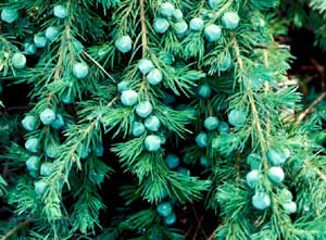 Picture closeup of Shore Juniper (Juniperus conferta­) needle-like leaf structure and green berry-like fruit.