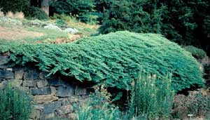 Picture of Japgarden Juniper (Juniperus procumbens) shrub form showing habit overhang of stone wall.