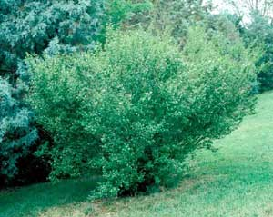 Picture of Amur Privet (Ligustrum amurense) shrub form.